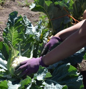 Gloved hands picking head of cauliflower.