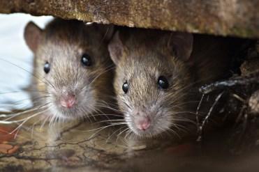 problème de rats à montréal, exterminateurs associés, photo