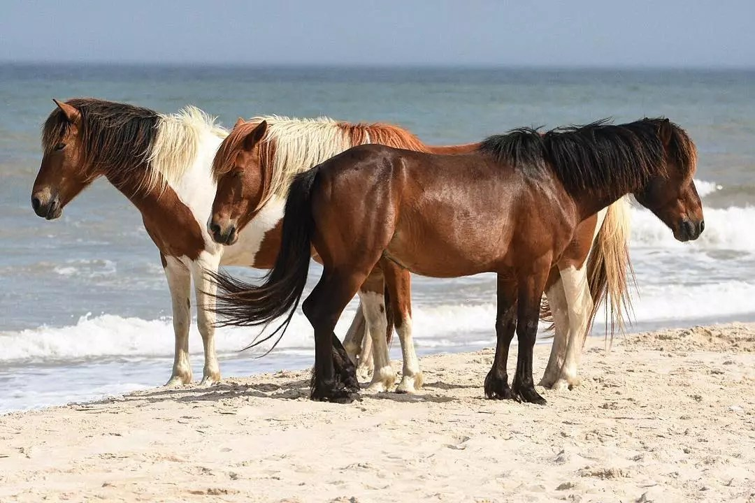 Three Wild Horses Standing by the Seashore on Assateague Island. Photo by Instagram user @ajhannifin