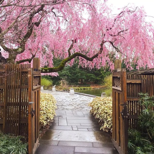 View of pink-leaved tree from just outside a wooden gate Photo by Instagram user @brooklynbotanic