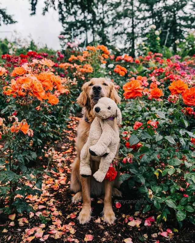 Golden retriever holding a stuffed dog in the middle of a rose garden Photo by Instagram user @mycaninelife