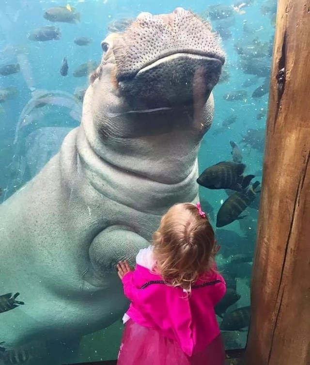 A Hippopotamus swims in the aqaurium and says hi to a young girl. Photo by Instagram user @stlzoo