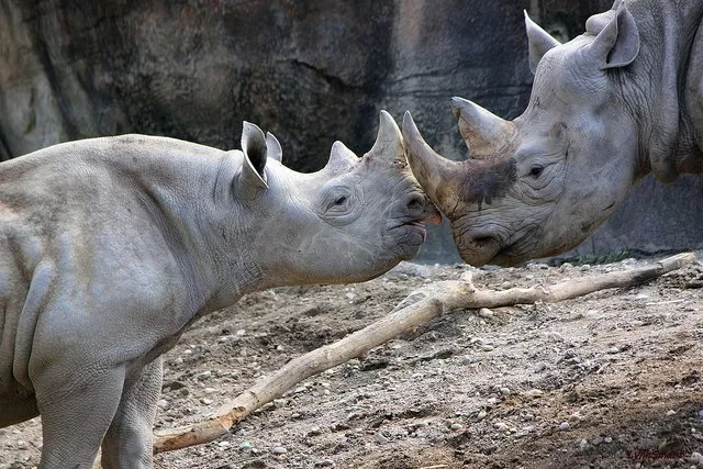 Two rhinos touching their horns together at the Cincinnati Zoo in Ohio. Photo by Instagram user @cincinnatizoo