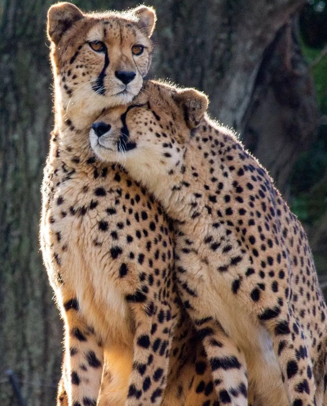 Two cheetahs nuzzling each other. Photo by Instagram user @philadelphiazoo