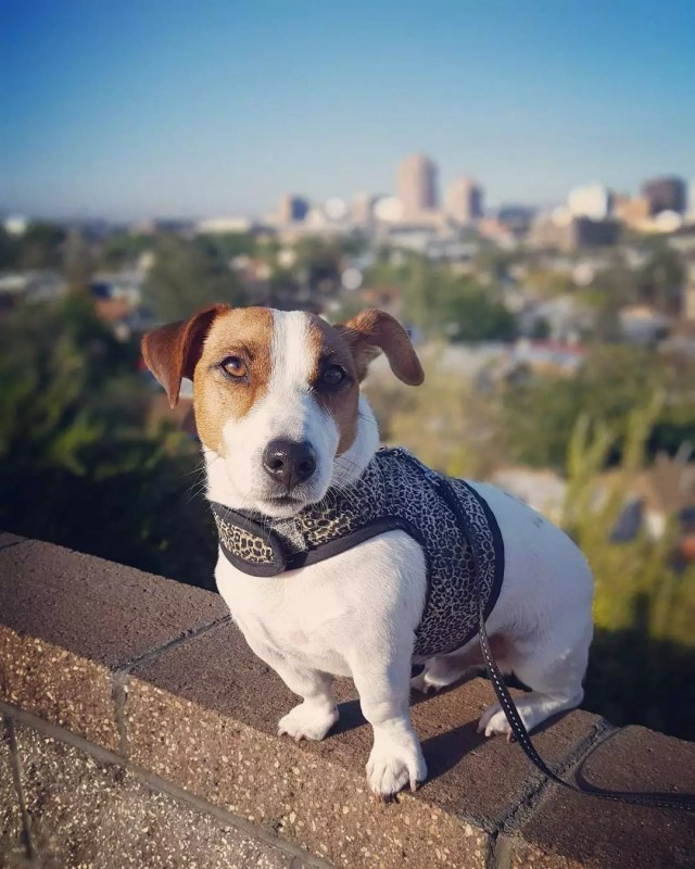 terrier sitting on a wall wearing a harness with albuquerque skyline in the background photo by Instagram user @gunnerthejack