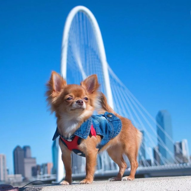 chihuahua wearing a jean shirt in dallas photo by Instagram user @stella_chihuahuavibe