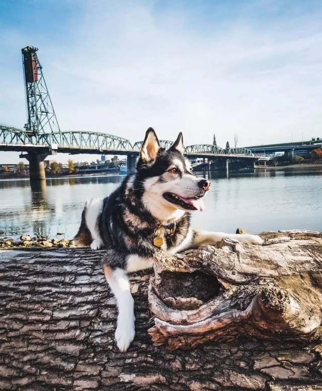 husky laying on a log at the Tom McCall Waterfront Park in Portland photo by Instagram user @huskymax_pugmolly