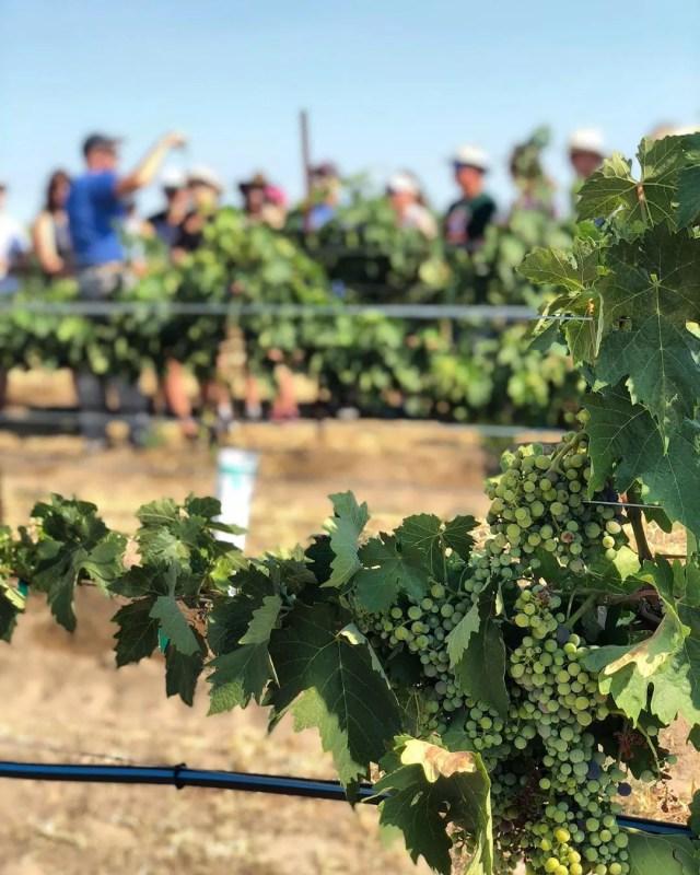 grape vines in J. Victor Vineyards with Telayawine photo by Instagram user @telayawine