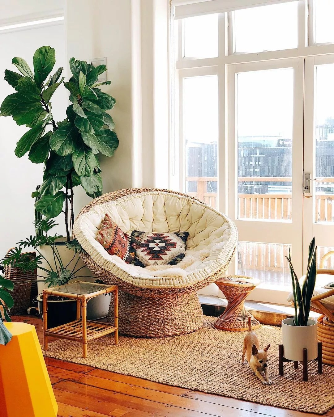 Chihuahua stretches in front of a bamboo side table, rattan papasan chair, spun bamboo side table, and various plants. Photo by Instagram user @mrcigar.