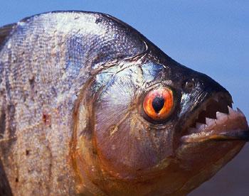 Piranha picture