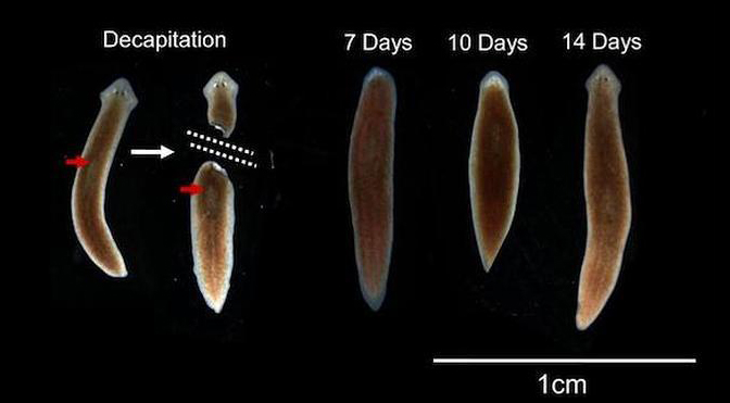 Decapitated worms can regenerate their brains and the