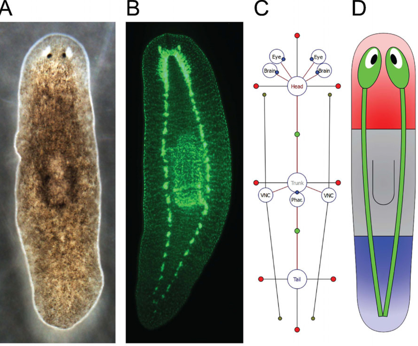 hight resolution of planarian nervous system