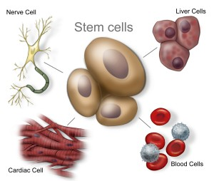 Stem cells, different cell types