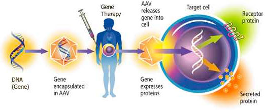 in vivo gene therapy diagram tekonsha primus iq trailer brake controller wiring what is extremetech it s only now becoming possible to edit genes within the body of a living patient currently best suited problems that