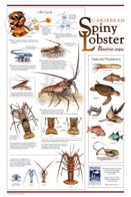 spiny-lobster
