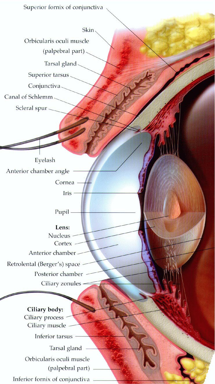 medium resolution of human eye anatomy the eye si gh t printable anatomy worksheets printable eye worksheet