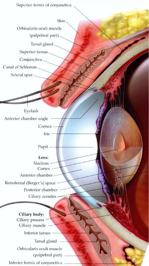 small resolution of human eye anatomy the eye si gh t printable anatomy worksheets printable eye worksheet