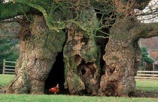 The Major Oak of Sherwood Forest England