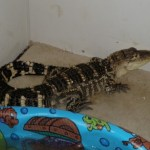 Alligator Seized In Jessup Drug Raid