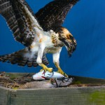 Osprey joins the Annapolis Maritime Museum