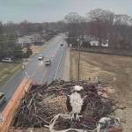 Severna Park's Osprey Cam is back along with the Ospreys