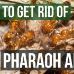 Ways to get rid of Pharaoh Ants