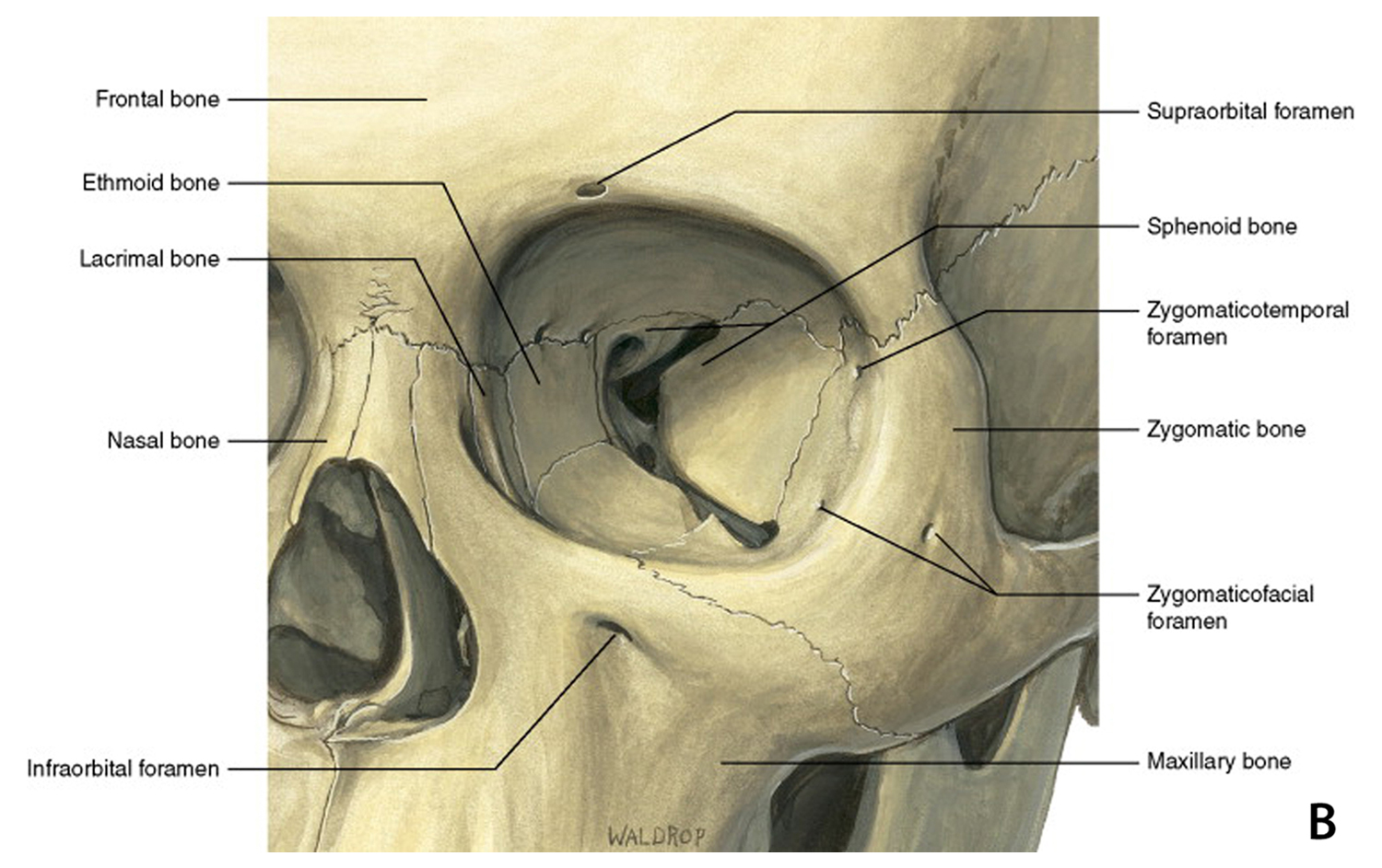 hight resolution of lateral canthal tendon attaches the the tarsal plates of the eyelid to the periosteum at the