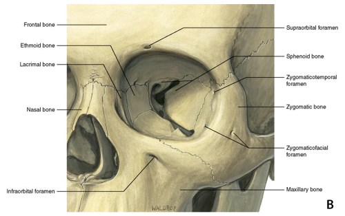small resolution of lateral canthal tendon attaches the the tarsal plates of the eyelid to the periosteum at the