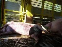 19.04.2010 Training French police: overcrowded pig truck with dead and injured pig
