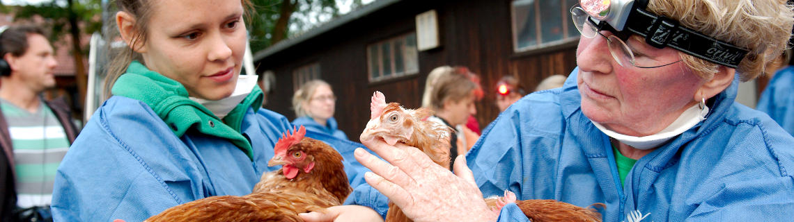 We help Rettet das Huhn catch and load spent-hens in an animal-friendly way and then find homes for them