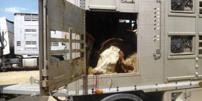 Stop tolerating systematic violations of international law when exporting livestock to third countries