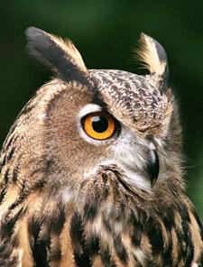 Barred Eagle Owl Tufts