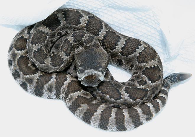Summer 2015 – EYNC Rattlesnake Study
