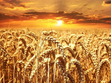 a field of wheat with a sunrise in the background.