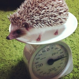Hedgehog_on_a_scale