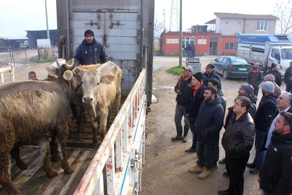 Ezine'de Genç Çiftçilere Hibe Damızlık Düveleri Dağıtıldı