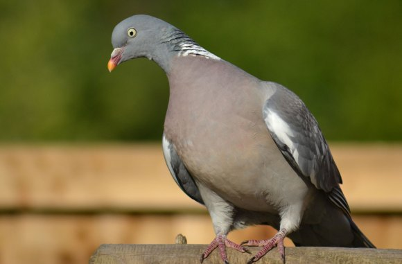 A wild pigeon, also know as a phap.  The ha spelling is common but not descriptive, and helps us understand the ah spelling for prahps.
