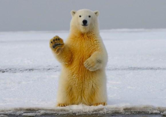bye bye polar bear, goodbye