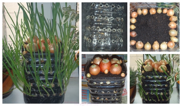 How to Grow Onions Vertically in Plastic Bottle On The
