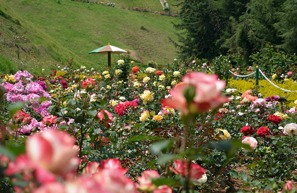 Government Rose Garden,Ooty