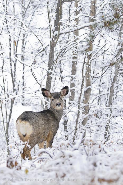 mule deer, jasper national park