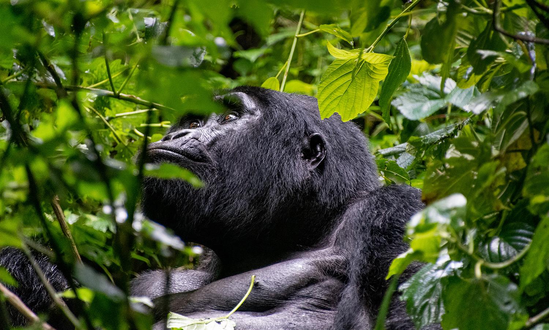 Uganda, gorilla trekking