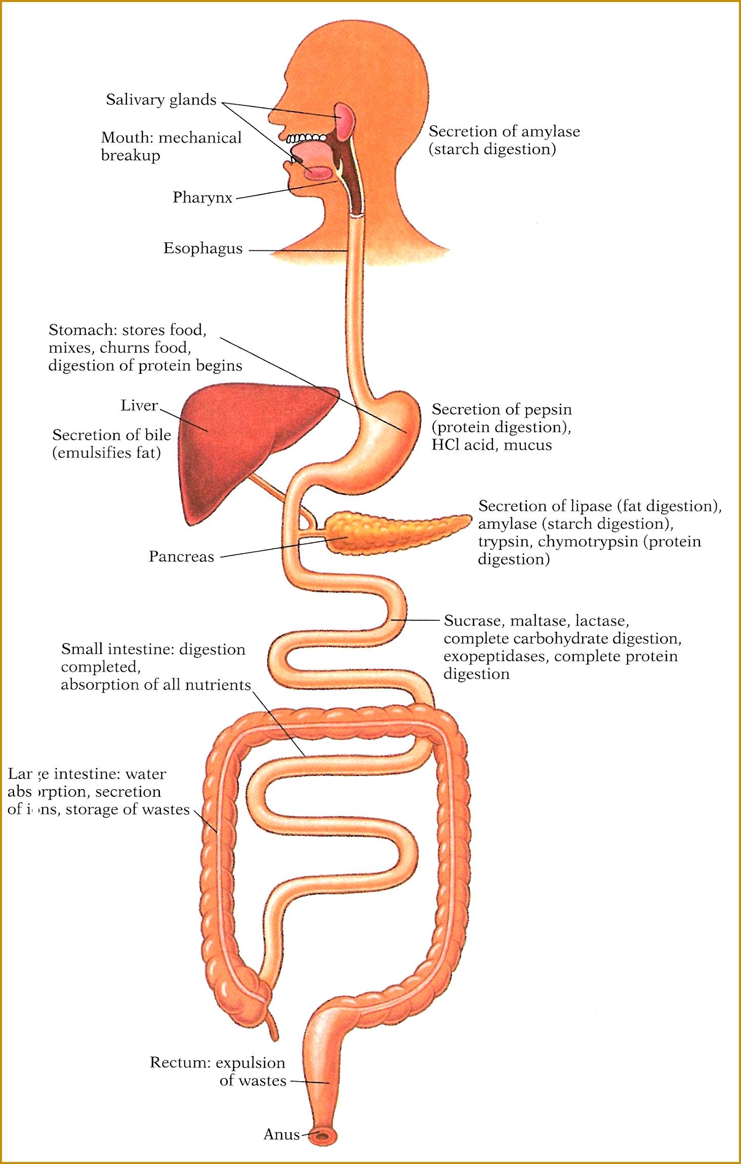 Digestion Fun Worksheet