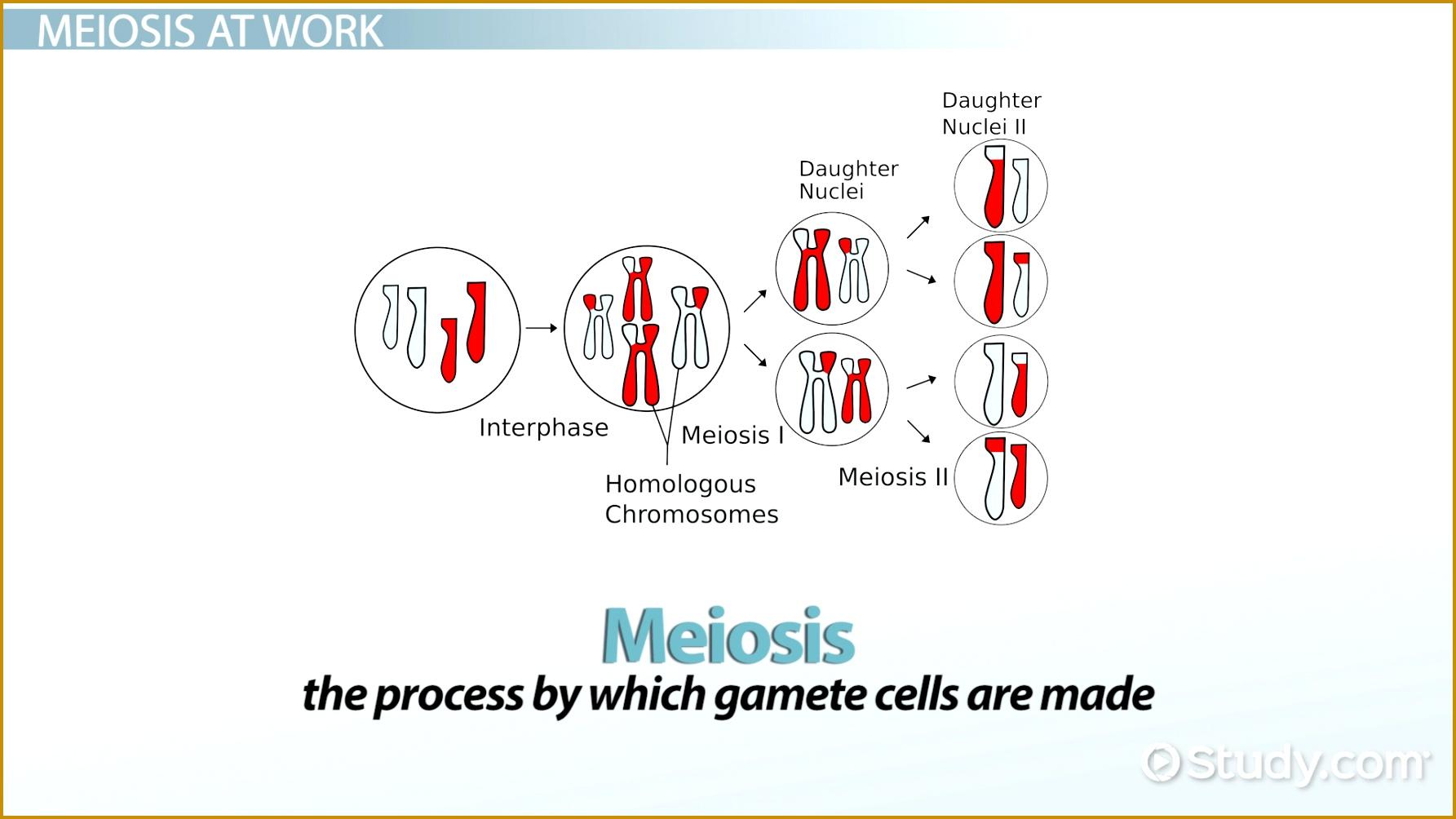 5 Mitosis Vs Meiosis Worksheet
