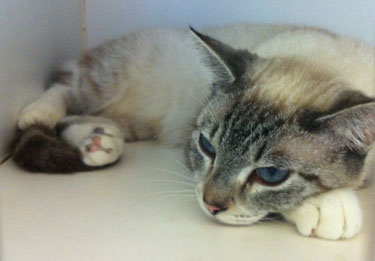 Fab-Finds-Featured-Story-flagler-humane-society-blue-eyed-cat