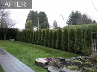 Cedar Hedge, White Rock, BC, Privacy Hedge Reduces Street ...