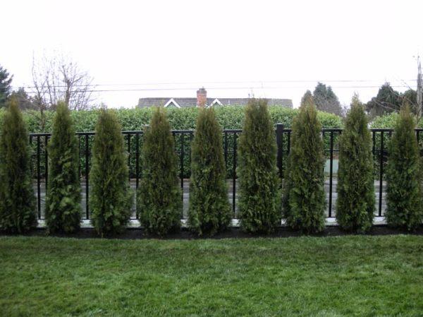 cedar hedge white rock bc privacy
