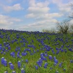 Showing Texas Pride with the fragrance of Bluebonnets #PurexFreshBluebonnet