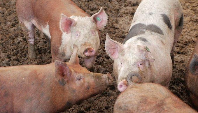 Свиной навоз для устойчивого строительства дорог