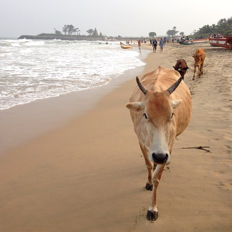 Mamallapuram beach cow, Shore Temple in the distance.